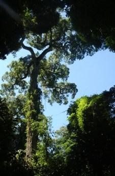 PPPeninsula(EspeciesNativas Palo Rosa1)