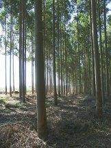 1 plantaciones de eucaliptos1