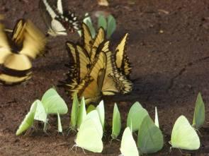 SelvaMisionera(Mariposas)