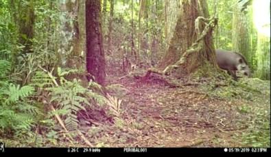 Tapir en la Reserva San Jorge