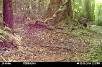 Tapir-cria-en-la-Reserva-San-Jorge