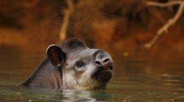 Tapir3