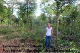5 Poda formacion eucaliptos (productora tabacalera)