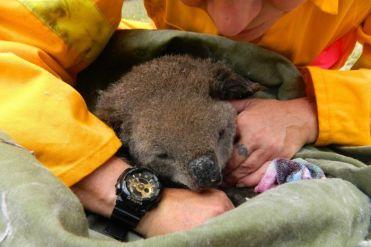 Australia Koala 2