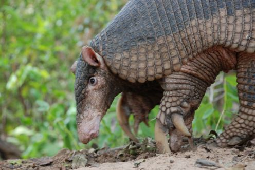 Foto (2) 046_Priodontes-maximus_1_Giant-Armadillo-Conservation-Program-ICAS