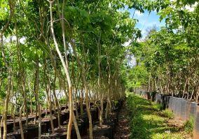 5 Vivero Forestales Hut (Aristobulo del Vallle) Lapacho Rosado