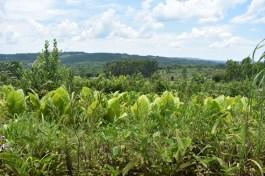 Cultivo de yerba, tabaco y forestacion1