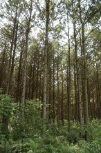 PapelMarron(plantacionespino)