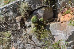 Foto Parodia (Parodia claviceps) sobre Peñon del teyu Cuare (Misiones)