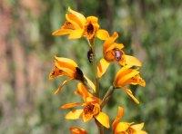 Chloraea chrysantha (3) (1)