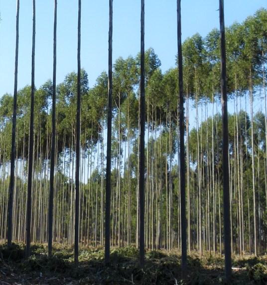 Aprovechamiento de postes en clones de E. grandis 1