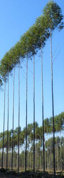 Aprovechamiento de postes en clones de E. grandis