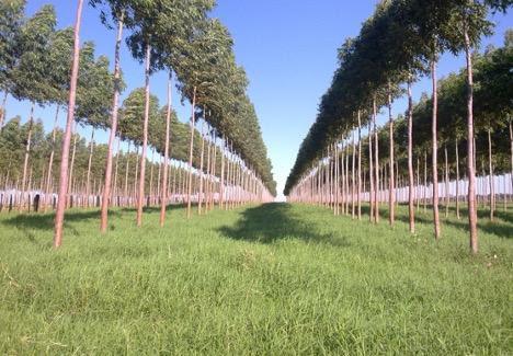 Paraguay Forestal Silvis