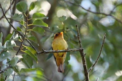 Bailarín castaño (Piprites pileata) en la Reserva Natural Cultural Papel Misionero. Foto: Martjan Lammertink.