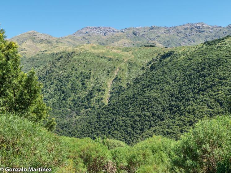 Bosques de pino del cerro (Podocarpus parlatorei) en Ambato (Catamarca) 20