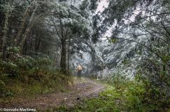 Bosques de pino del cerro (Podocarpus parlatorei) en Ambato (Catamarca) 4