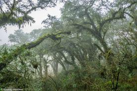 Bosques de pino del cerro (Podocarpus parlatorei) en Ambato (Catamarca) 9
