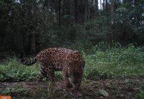 Jaguarete2