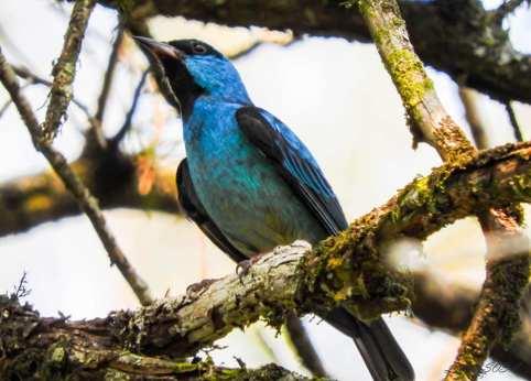 Aves Corpus 2