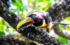 Aves Corpus