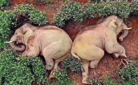 China Elefantes Descansan