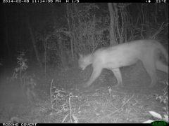 Puma - Reserva San Francisco 1 (1)