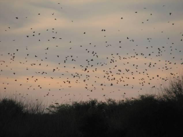 High volume dove hunting