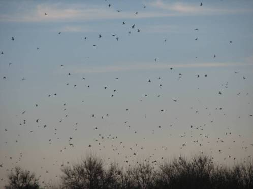 Millions of doves to hunt