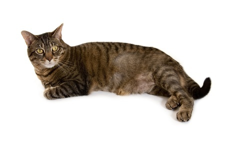 Bald patches on cats: What are the reasons for them? - Argos Pet ...