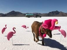 Salty Flamingoats