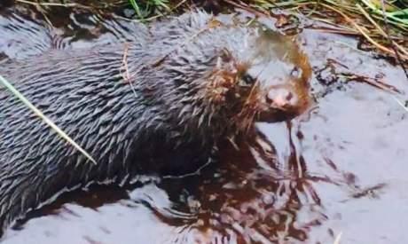 Scottish Otter|Scottish Wildlife|Argyll Cruising|Argyll|Argyll Secret Coast|Argyll Cruise