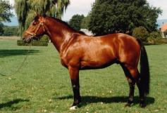 Le Franches-Montagnes, une race chevaline de trait. Source: Wikimédia (https://commons.wikimedia.org/wiki/File:NEPAL_FM.jpg). Crédit: 2003, Haras National Suisse.