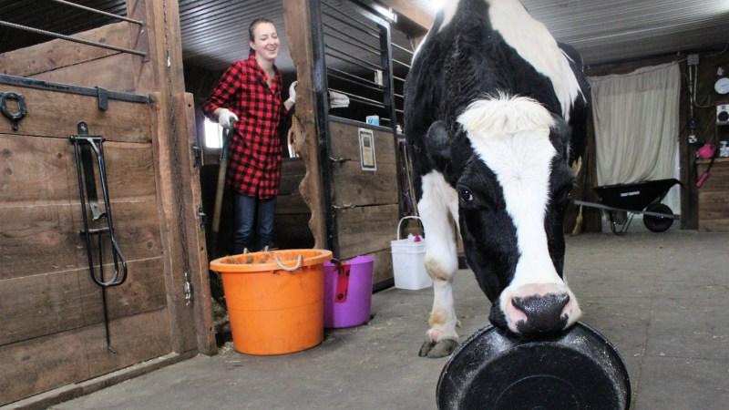 Photo de Maggie la vache super-héros avec l'artiste