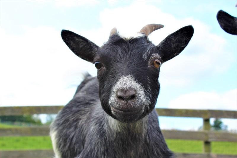 Gros plan de Josie-Mae la chèvre