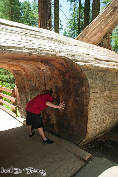 Alex playing with a large downed sequoia