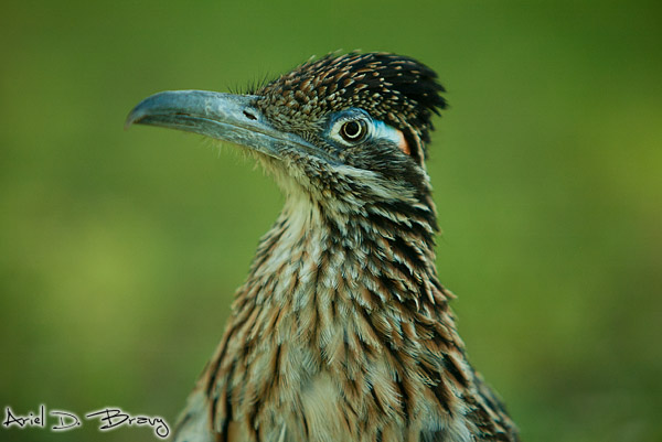 Roadrunner portrait