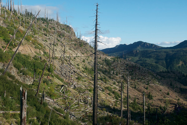 Blasted trees near Mt. St. Helens