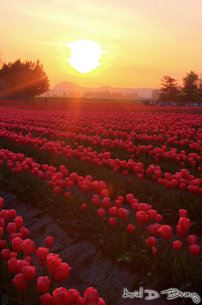 HDR sunset at a tulip field
