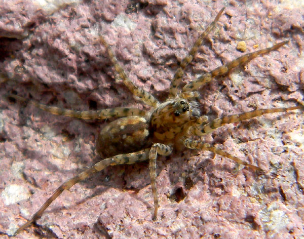 a wolf spider, Arctosa, from the Sonoran Desert photo © by Mike Plagens