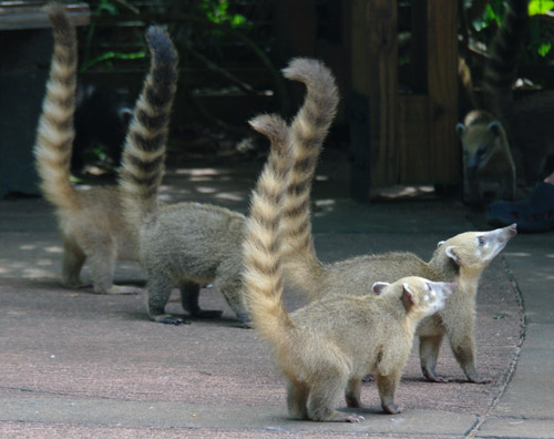 Cataratas de Iguacu - Coati raiding party