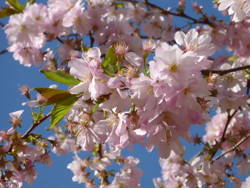 Spring blossom in the UK