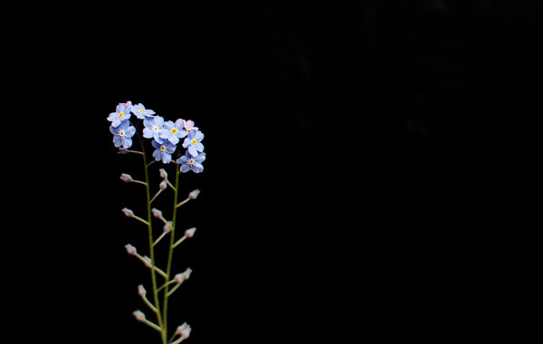 On black - forget me not