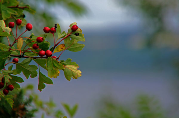 Loch Ness - Hawthorn Spray