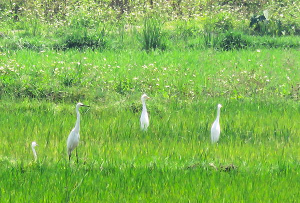 Rice field - Egrets