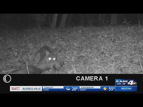 VIDEO: Caught on wildlife cam; bobcat kills deer