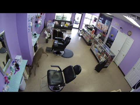 VIDEO: Deer crashes through Pine Bluff business window