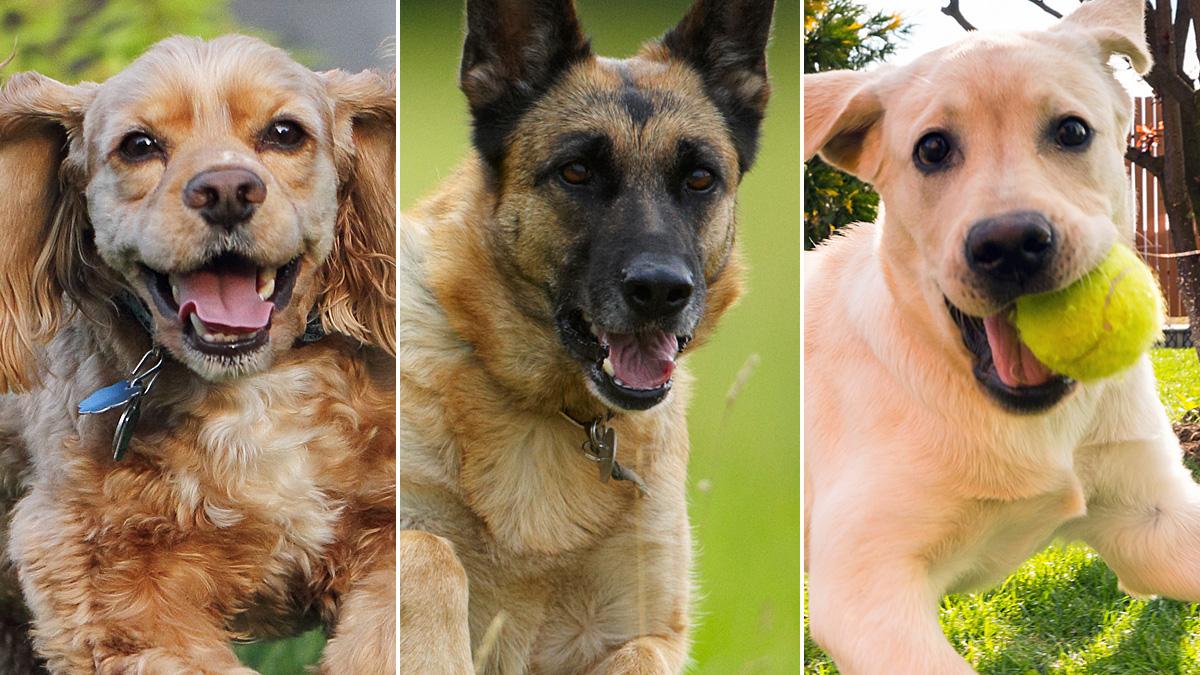 dog-breed-quiz-thumb_20170707030041351-159532