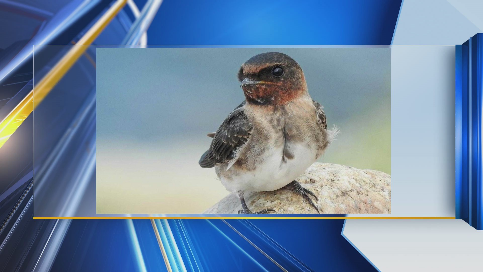 Watchable_Wildlife__Cliff_Swallows_0_20190617173414-118809306