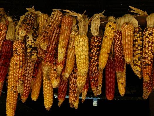 A pile of multicolored corn