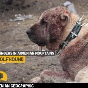 Armenian Wolfhound